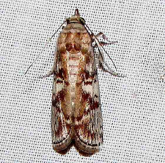 5705 Mahogany Shootborer Moth Everglades Flamingo Campground 3-23-11 (13)_opt