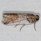 5713 Chararica hystriculella Campsite 119 Falcon St Pk Texas 10-23-16_opt