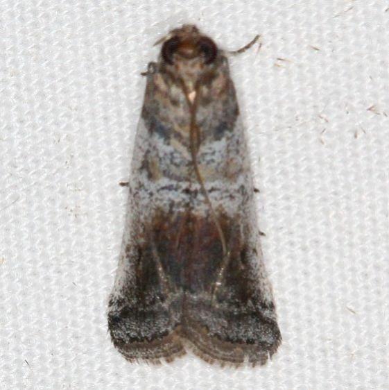 5713 Chararica hystriculella Campsite 119 Falcon St Pk Texas 10-27-16 (1)_opt