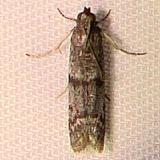 5719 Myelopsis minutularia Mahogany Hammock Everglades 2-27-12