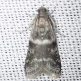 5721 Apomyelois bistriatella Thunder Lake UP Mich 6-23-13