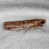 5734 Palm Bud Moth Pineland Everglades 2-18-14