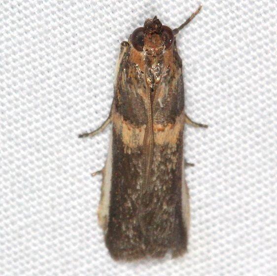 5744 Gold-banded Etiella Moth Jonathan Dickinson St Pk Fl 3-6-17 (2)_opt