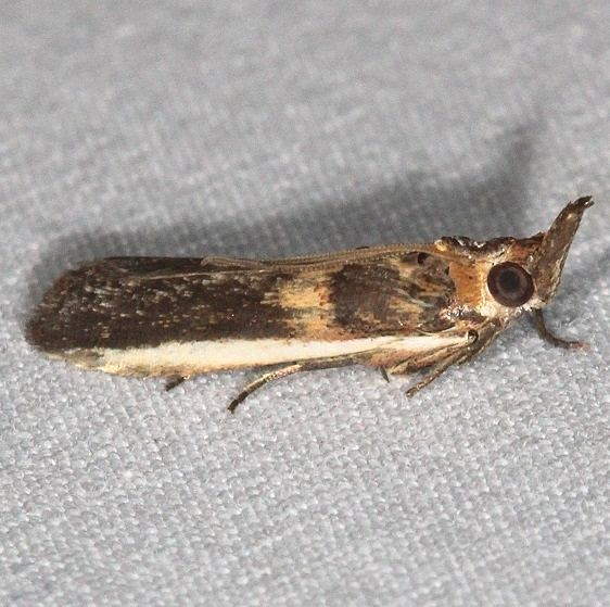 5744 Gold-banded Etiella Moth Jonathan Dickinson St Pk Fl 3-6-17_opt