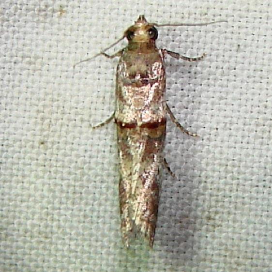 5744 Gold-banded Etiella Moth Mahogany hammack Everglades 2-25-12