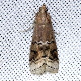 5745 Glyptocera consobrinella Alexander Springs Ocala Natl Forest 3-18-13