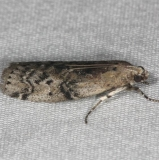 5745 Glyptocera consobrinella Silver Lake Cypress Glenn Fl 3-16-15