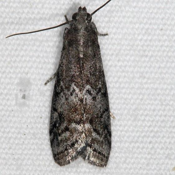 5745 Glyptocera consobrinella yarda 5-25-15 (3)_opt
