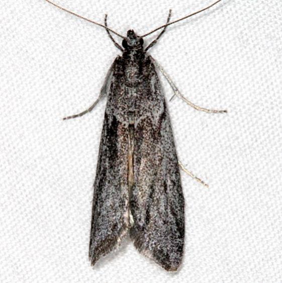 5755 Interjectio denticulella BG tentative Pine Lake Dixie Natl Forest Utah 5-31-17 (6)_opt