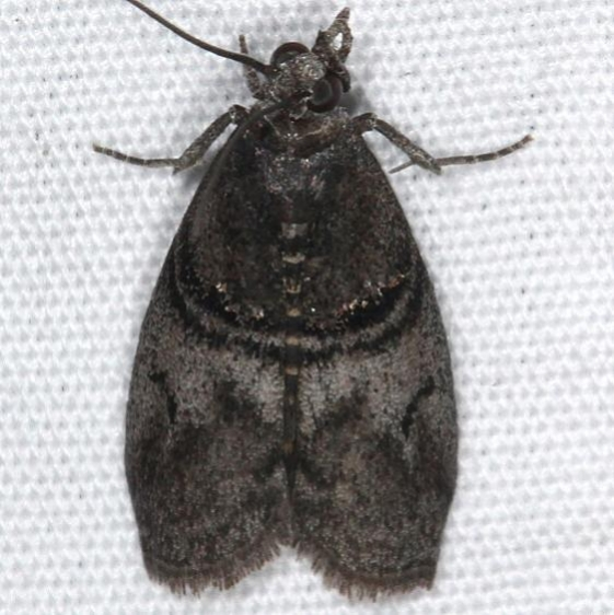 5766 Immyria nigrovittella Jenny Wiley St Pk 4-20-16 (43a)_opt