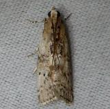 5771 Salebriaria turpidella Kissimmee Prairie St Pk 3-8-12