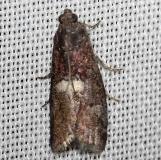5773 Engel's Salebriaria Moth Obed Rivershed Tenn 8-26-12