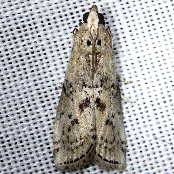 5773.1 Salebriaria roseopunctella Kissimmee Prairie St Pk 3-17-13