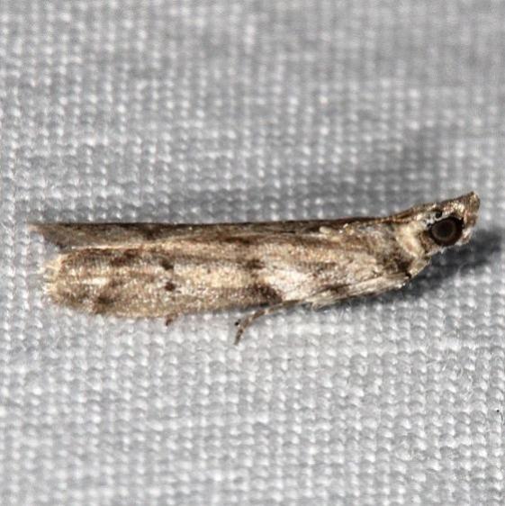 5774 Salebriaria annulosella Favre Dykes State Park Fl 2-20-17_opt