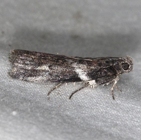 5775.1 Salebriaria fasciata Mothapalooza Shawnee St Forest Oh 7-7-17 (58)_opt