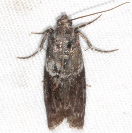 5775.2 Salebriaria rufimaculatella Copperhead Firetower Shawnee St Forest 6-13-15_opt