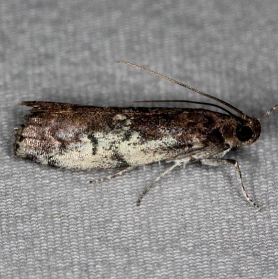 5775.3 Salebriaria squamopalpiella Silver Lake Cypress Glenn Fl 3-16-15