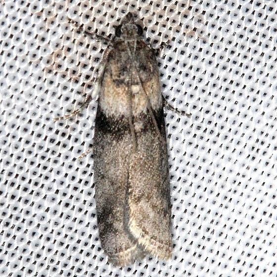 5787 Lesser Aspen Webworm Moth Thunder Lake Mich UP 6-24-13