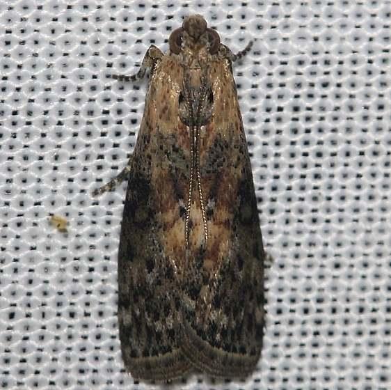 5796 Locust Leafroller Moth yard 8-11-12