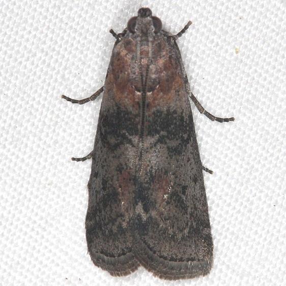 5796 Locust Leafroller Moth yard 7-12-14