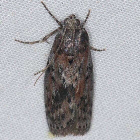5797 Black-spotted Leafroller Moth yard 6-1-14