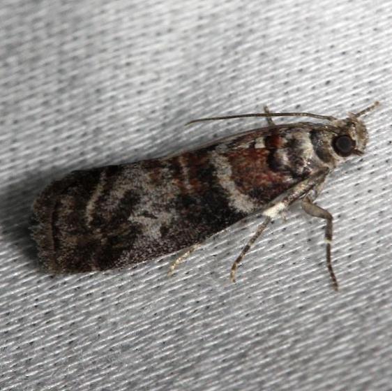 5802 Sweetgum Leafroller Moth Alexander Springs Ocala Natl Forest 3-18-13