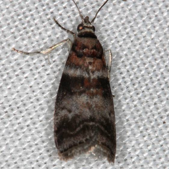 5802 Sweetgum Leafroller Moth Sciota uninella Rodman Campground Fl 3-20-14