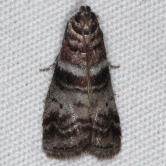 5802 Sweetgum Leafroller Moth yard 8-7-15