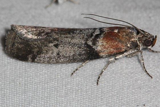 5806.97 Unidentified Sciota Moth Mueller St Pk Colorado 6-20-17 (51)_opt