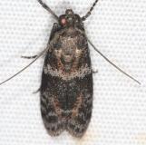 5806.97 Unidentified Scioto Moth BG Campsite 119 Falcon St Pk Texas 10-28-16 (24)_opt