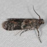 5806.97 Unidentified Scioto Moth BG Campsite 119 Falcon St Pk Texas 10-28-16 (25)_opt