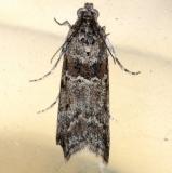 5812 Telethusia ovalis tentetive Moth Cherry Tree Inn Victoria BC 8-15-14