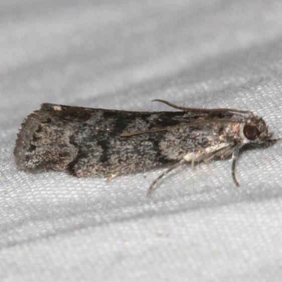 5829 Pyla fusca Speckled Black Pyla Moth Golden Gate Canyon st Pk Colorado 6-27-17 (38)_opt