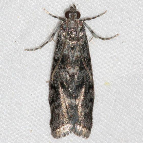5829 Pyla fusca Speckled Black Pyla Moth Golden Gate Canyon st Pk Colorado 6-27-17 (39)_opt