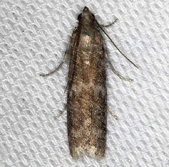 5829 Speckled Black Pyla Moth Pyla fusca Battelle Darby Pk Ancient Trail 7-25-13
