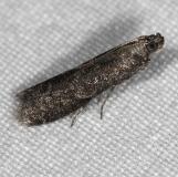 5839.97 Unidentified Pyla Moth tentatively yard 8-23-14