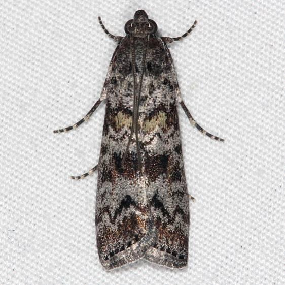 5841 Evergreen Coneworm Moth Bader's house palm Coast FL 3-21-15