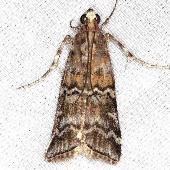 5852 Zimmerman Pine Moth Village Creek St Pk, Texas 11-6-13
