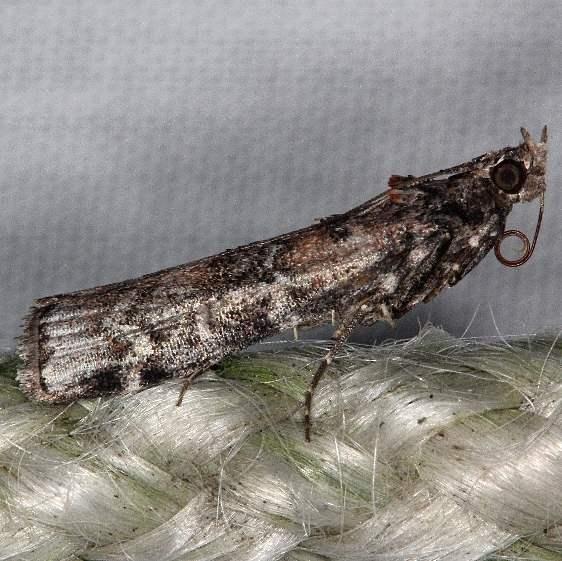 5852 Zimmerman Pine Moth yard 8-31-16_opt