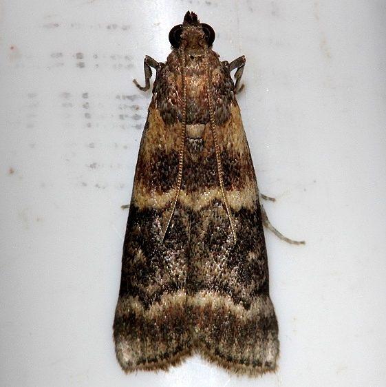 5859.97 Unidentified Dioryctria Alexander Springs Ocala Natl Forest 3-19-13
