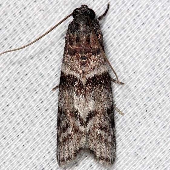 5863.1 Blister Coneworm Moth Collier Seminole St Pk 2-25-14