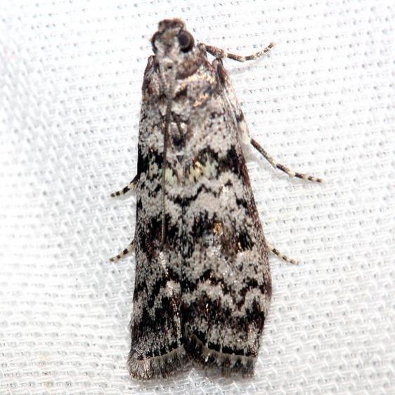 5863.4 Southern Coastal Coneworm Moth Lake Kissimmee St Pk Fl 2-26-13