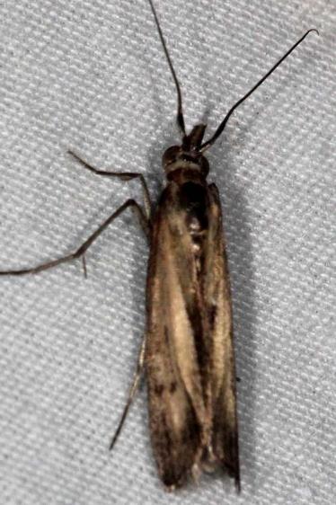 5896 Elasmopalpus lignosellus NABA Gardens Texas BG 11-2-16_opt