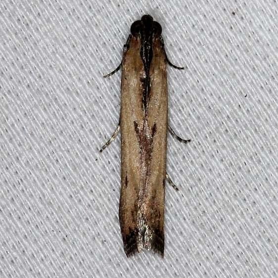 5896 Lesser Cornstalk Moth Big Lagoon St Pk 11-12-13_opt