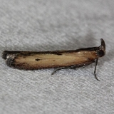 5896 Lesser Cornstalk Moth Big Lagoon St Pk Fl 11-12-13_opt
