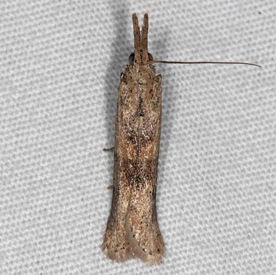 5914.5 Alligatorweed Stem Borer Moth Oscar Scherer St Pk 3-14-15