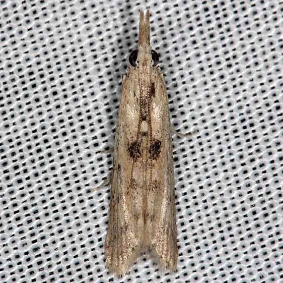 5914.5 Arcola malloi Alligator Stem Borer Moth Rodman campground Fl 3-18-14