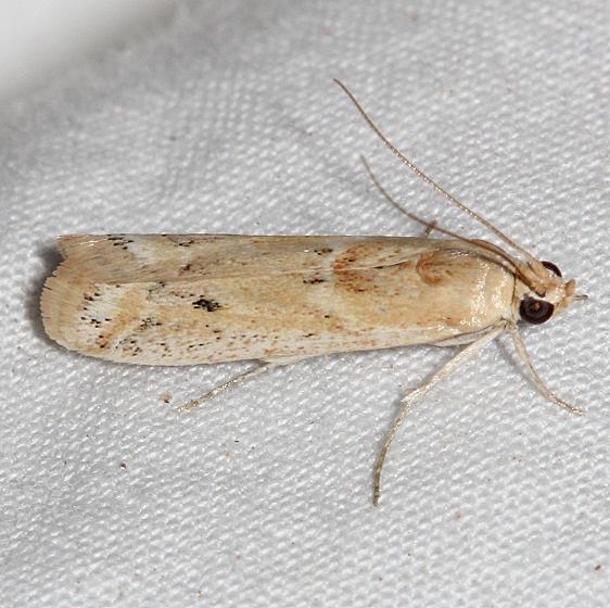 5916 Ancylosis morrosonella Colorado National Monument 6-17-17 (38)_opt