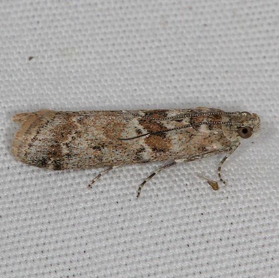 5918 Sugarbeet Crown Borer moth Moth Moab RV Resort Moab Utah 6-5-17 (26)_opt