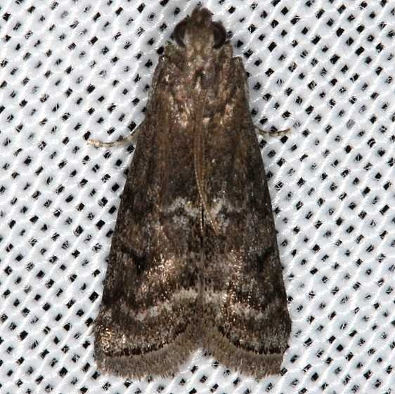 5926 Elm Leaftier Moth Cumberland Falls St Pk Ky 4-23-14